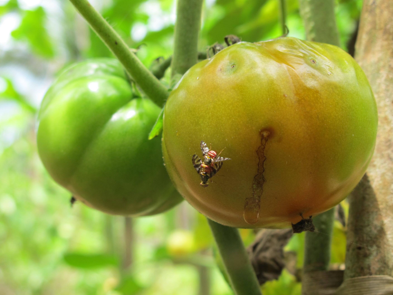 Accouplement de mouche des fruits et légumes et dégats causés par les piqures sur des tomates de Mayotte-Photo Luc Vanhuffel