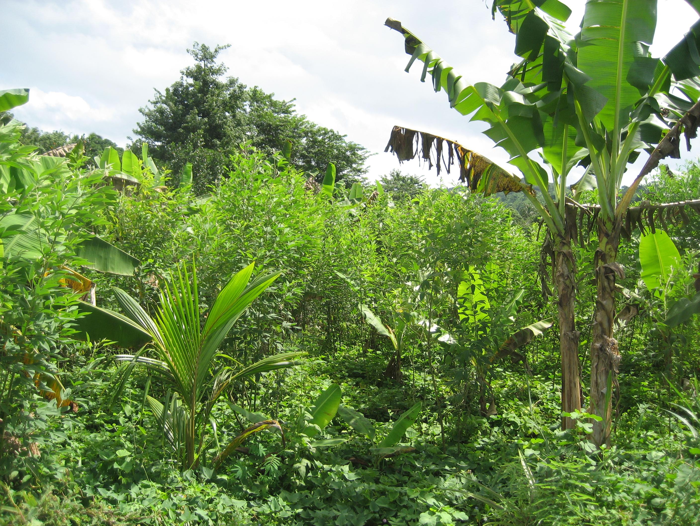 Un très bel exemple d'agroforesterie à Dzoumogné associant grands arbres- bananiers-ambrévades et patates douces-photo Luc Vanhuffel